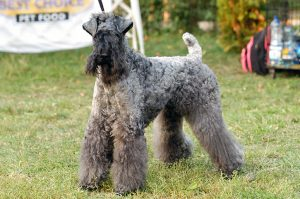 Kerry Blue Terrier (I)