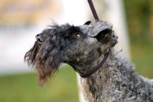 Kerry Blue Terrier (II)