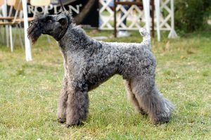 Kerry Blue Terrier (III)